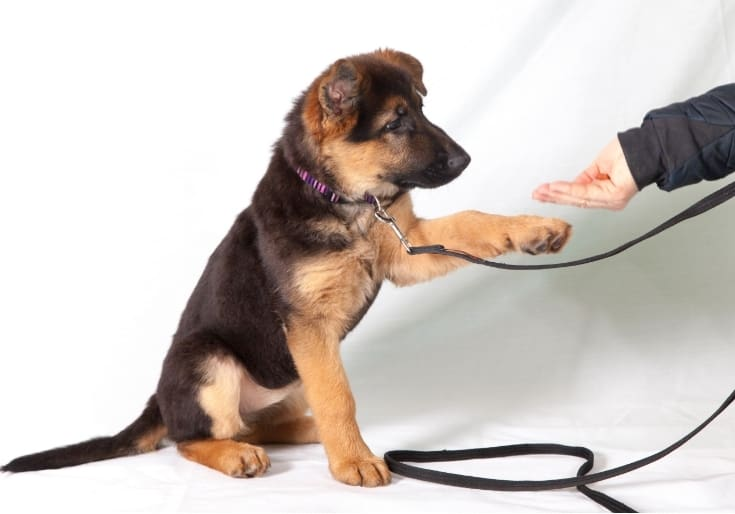 Altasian Pup Being Trained