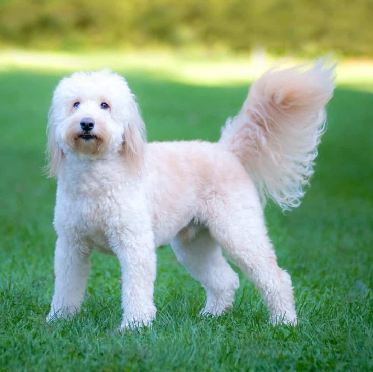 Goldendoodle outside in a yard