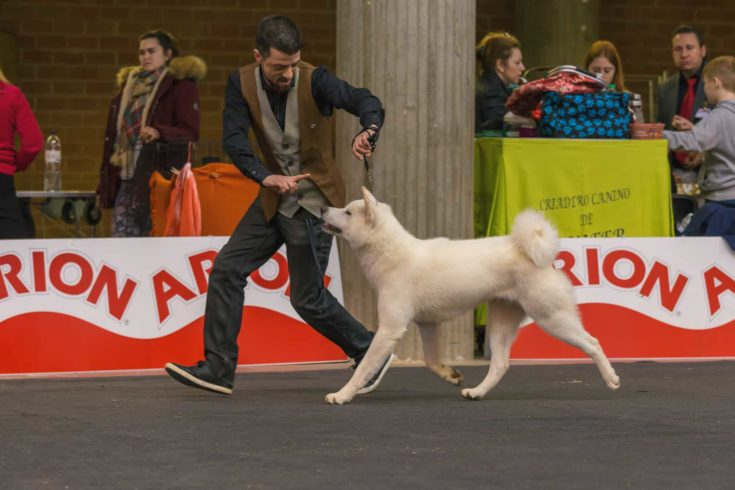 Dog walking with his handler in a dog show.