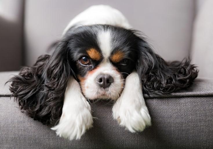 Dog Portrait in sofar