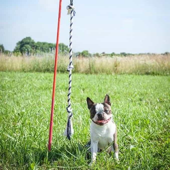 Flirt Pole dog toy