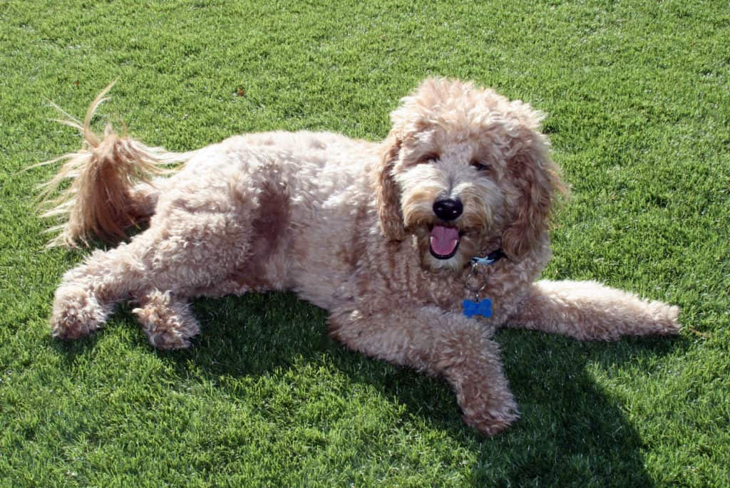 Tan Goldendoodle dog laying down on grass.