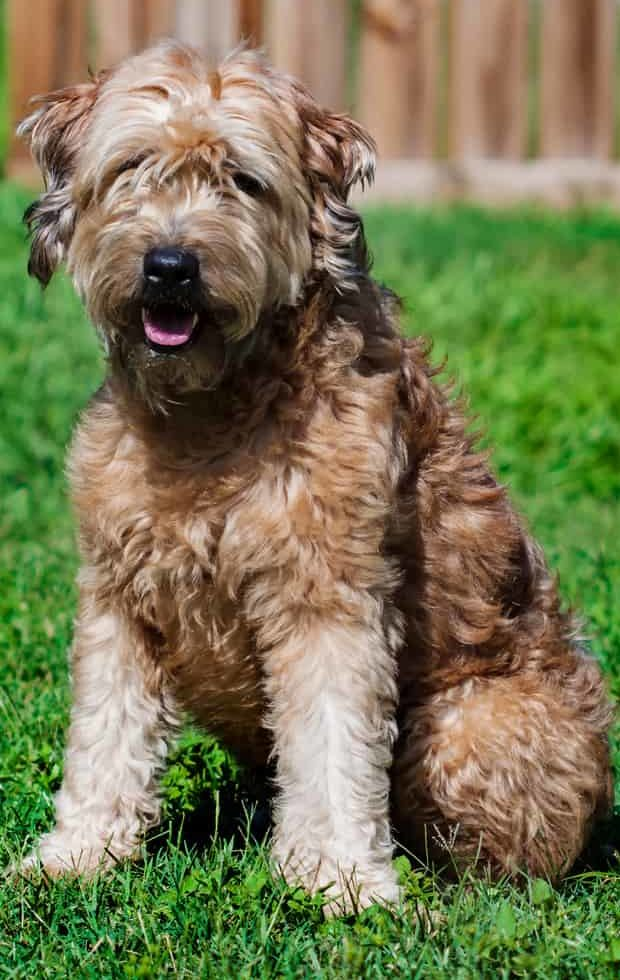 Portrait picture of a Goldendoodle outdoors