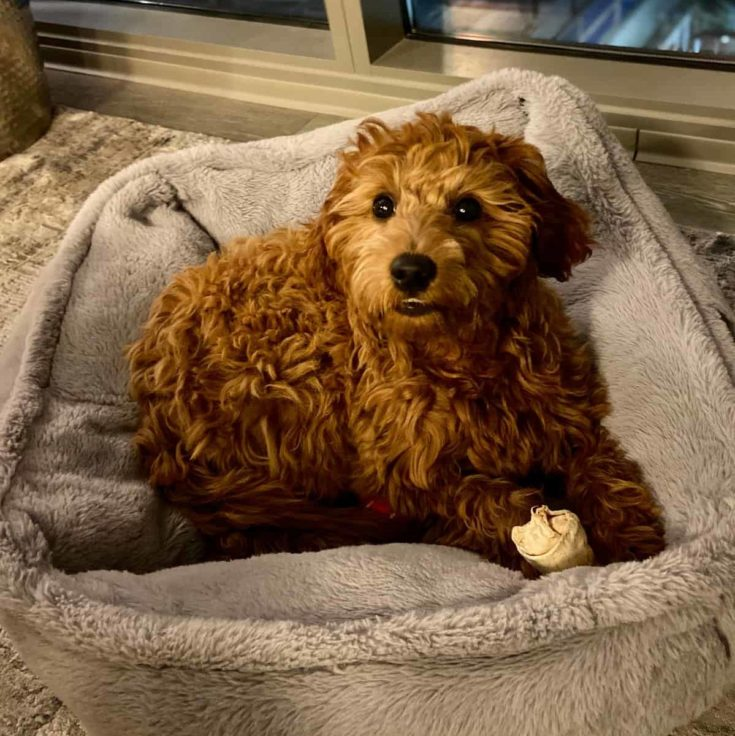 Happy Goldendoodle in a dog bed with a bone