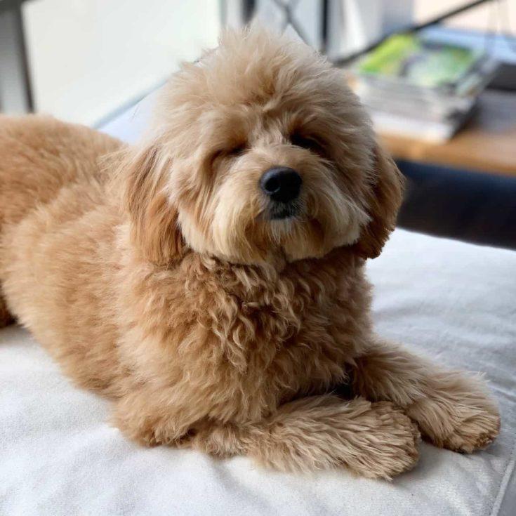 Cute mini goldendoodle relaxing
