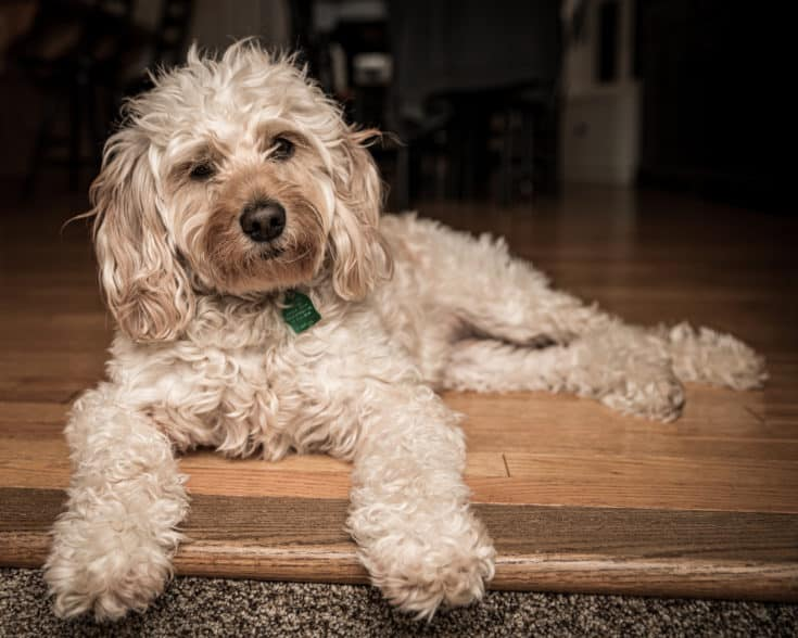 Mini Golden doodle hanging out at home