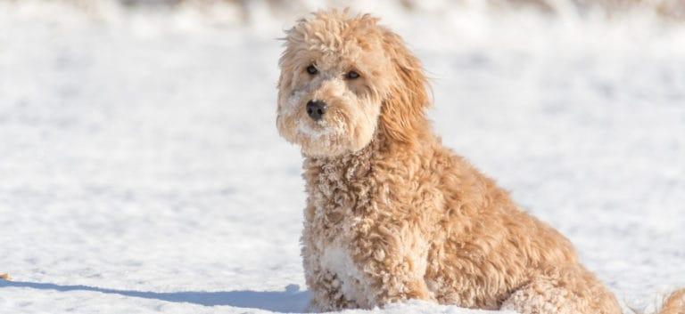 Mini Goldendoodle sitting on snow.