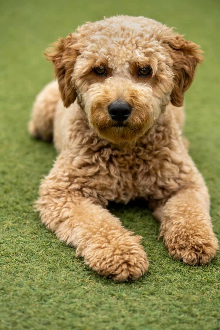 Mini golden doodle puppy looking to the camera