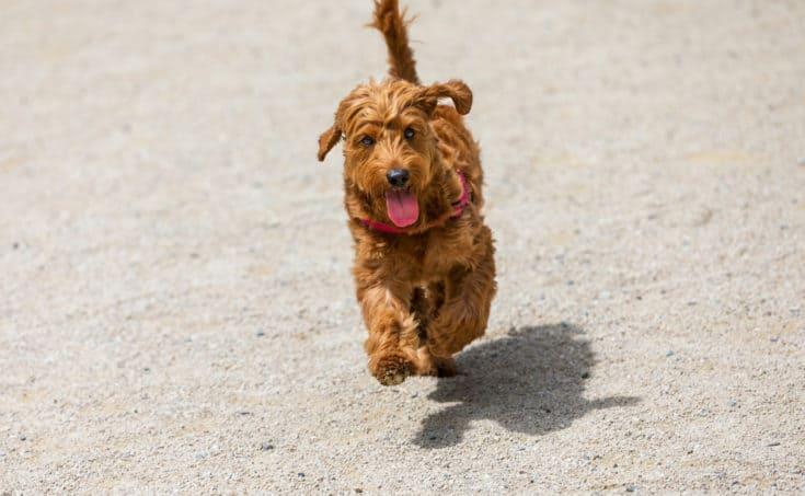 miniature golden doodle puppy running towards the camera.