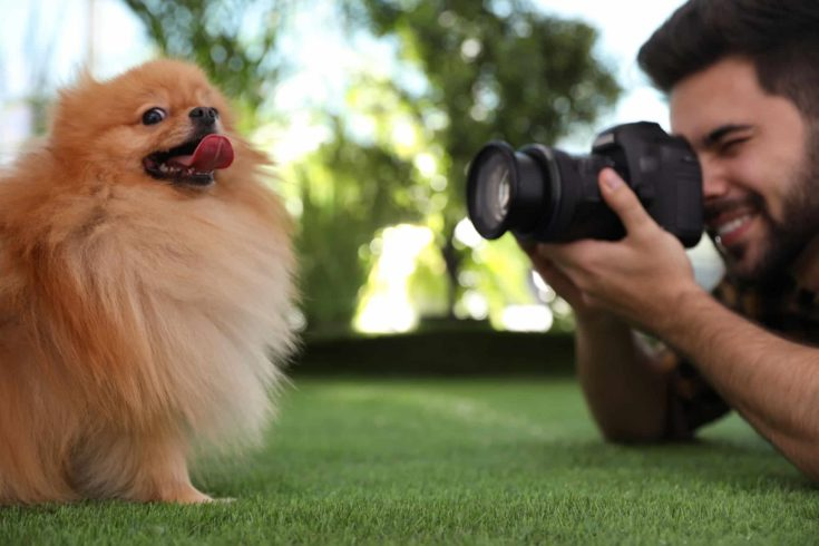 Professional animal photographer taking picture of beautiful Pomeranian spitz dog on grass outdoors