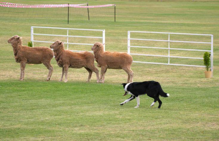 sheep dog rounding up threee sheep at sheep dog trials