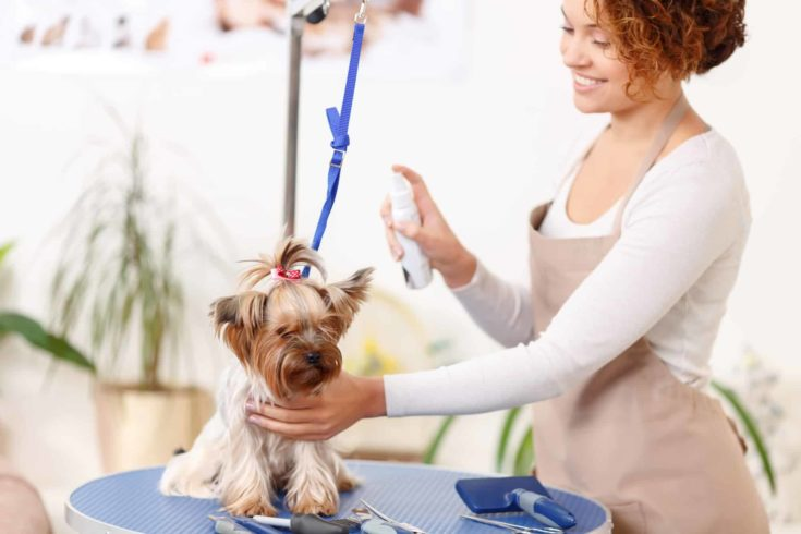 Yorkshire terrier is being sprinkled by smiling professional.