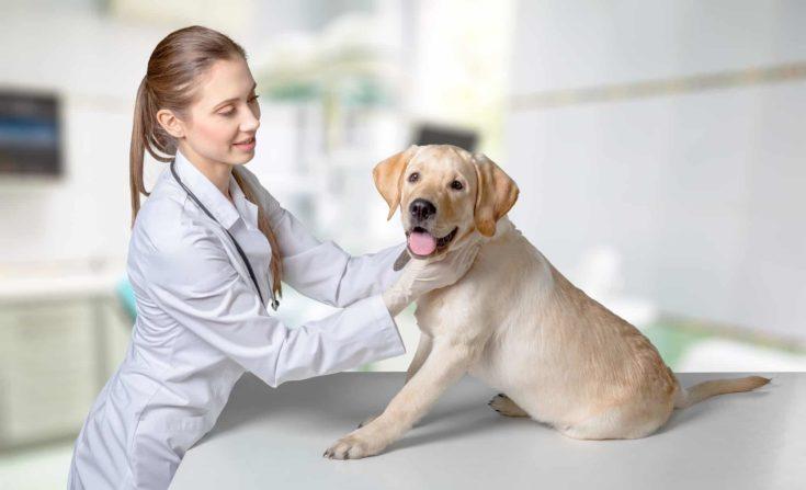 Veterinarian checking up dog