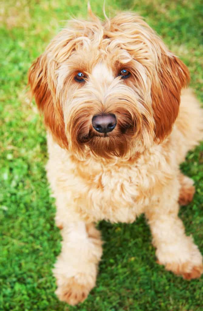 Young Goldendoodle Dog