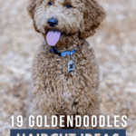 19 Goldendoodles Haircut Ideas - Adorable and Creative Styles - Pin
