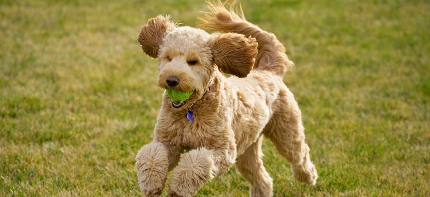 Goldendoodle running and biting a ball in his mouth.