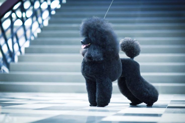 A black poodle on a checkered tile floor