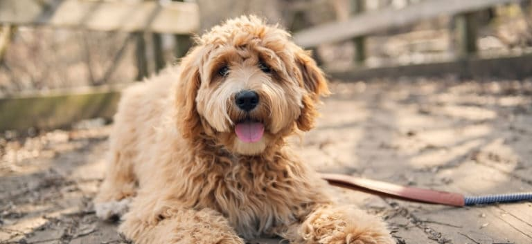 Adorable Goldendoodle lying on the ground