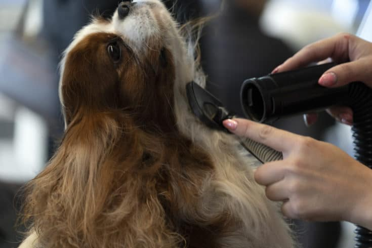 Chevalier king dog being combed close up portrait