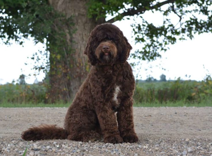 Chocolate goldendoodle sitting on the ground.