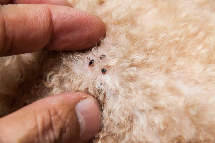 Closeup of mite and fleas infected on dog fur