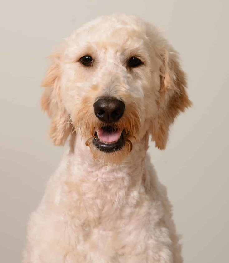 Cropped shot of cream goldendoodle