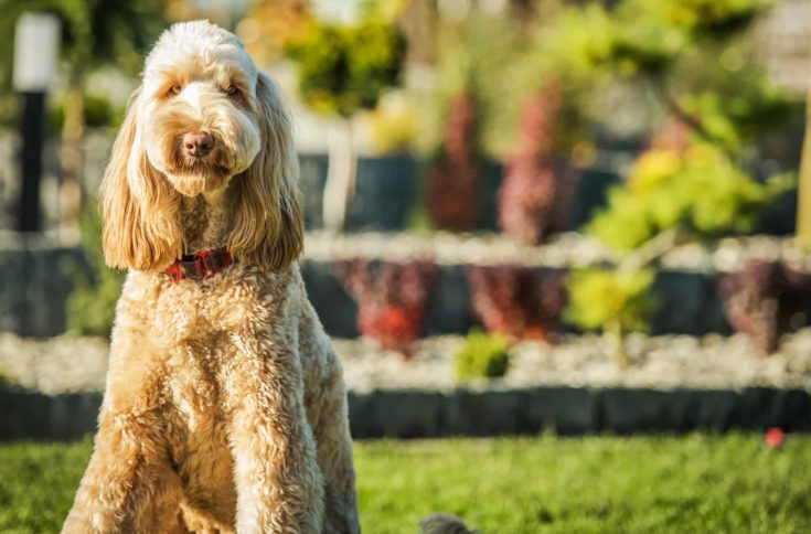 Cute Obediant Goldendoodle Crossbreed Sitting Patiently On Green Grass.