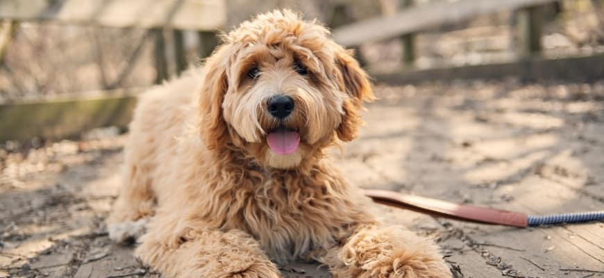Goldendoodle lying on the ground
