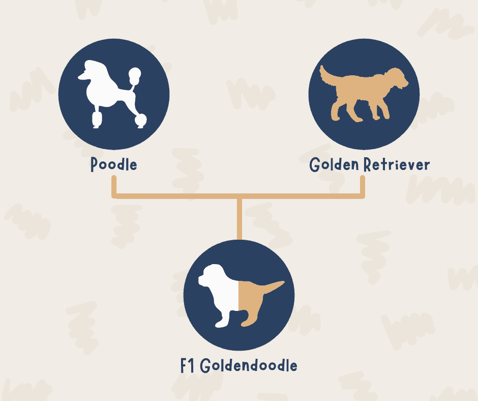 F1 Goldendoodle - Infographic