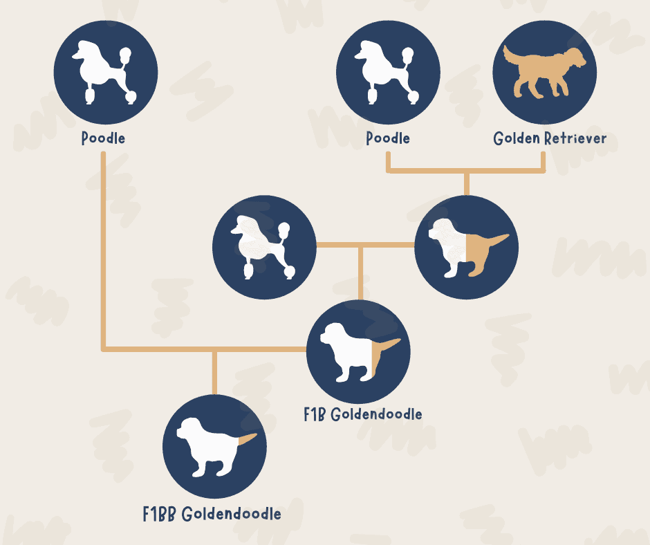 F1BB Goldendoodle - Infographic