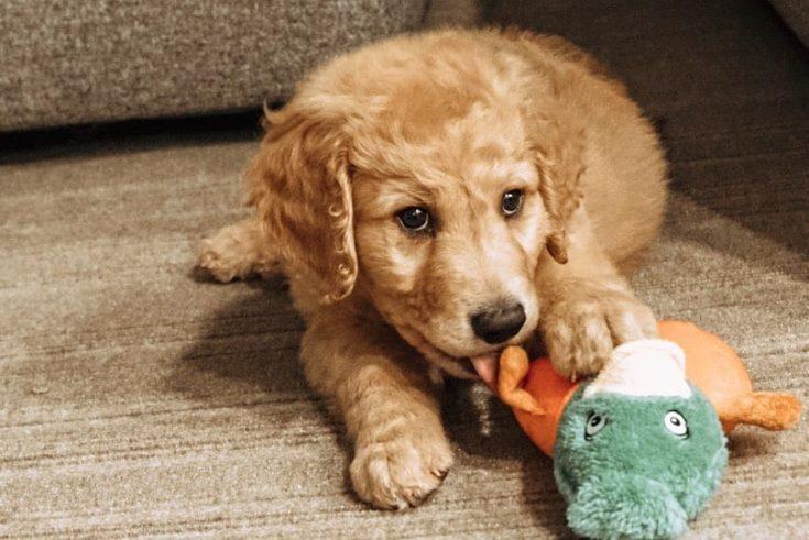 F2 Goldendoodle pup