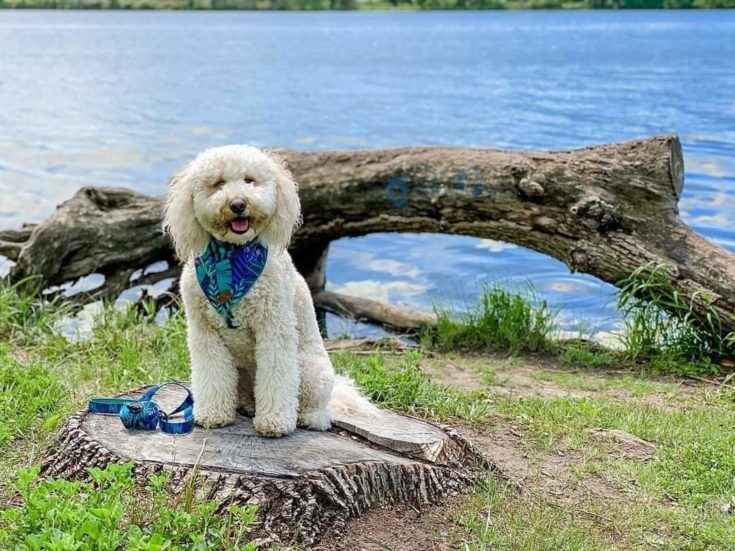 F2B Goldendoodle wearing a blue scarf.