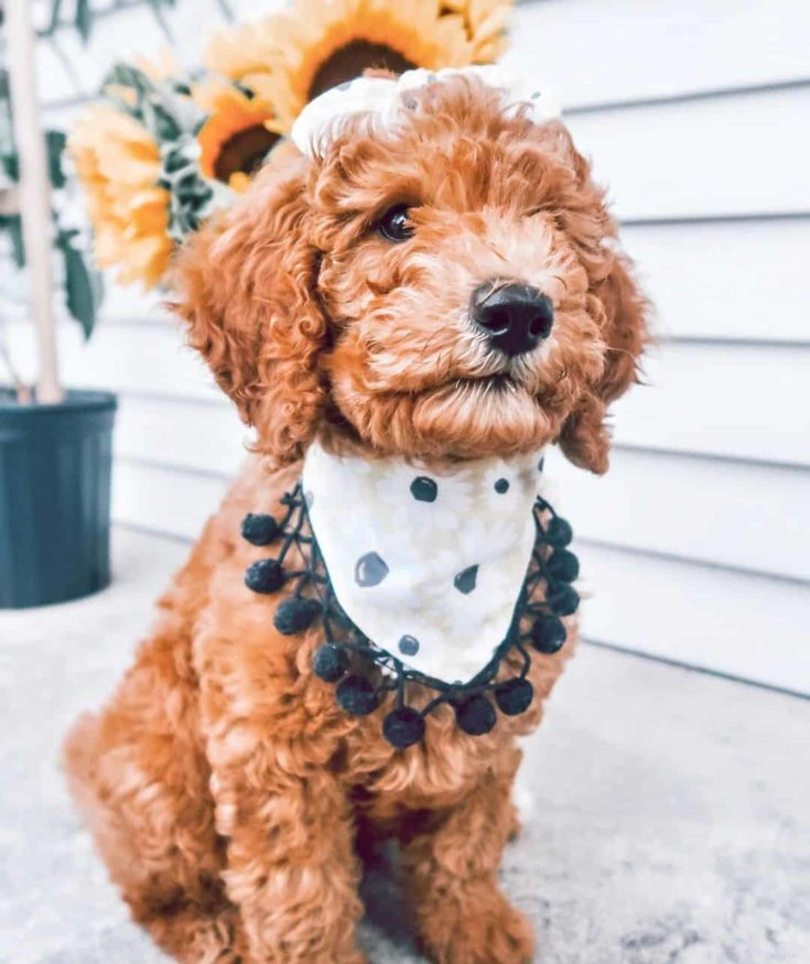 F2BB Goldendoodle puppy