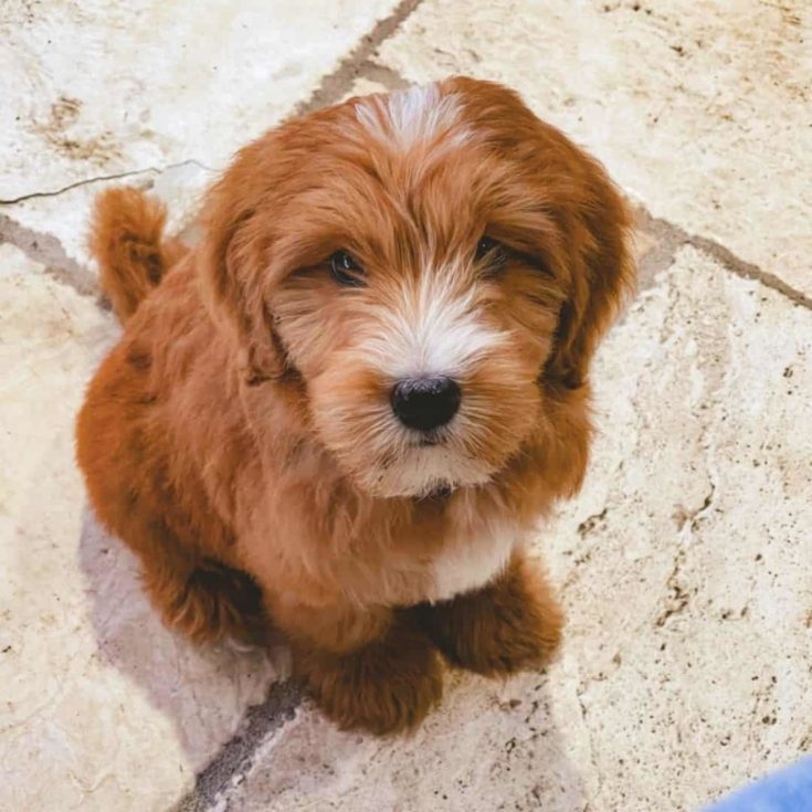 F3 Goldendoodle puppy