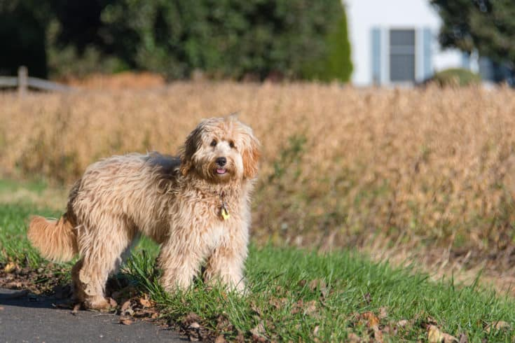 Female mini golden doodle F1B dog in outdoor environment