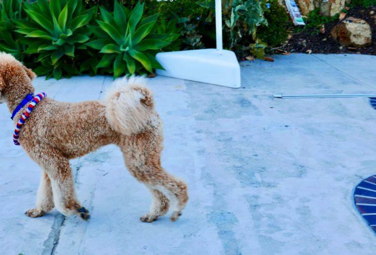Goldendoodle flag tail hair cut