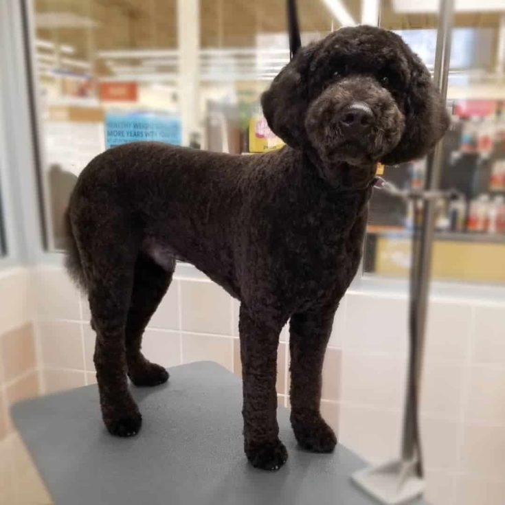 Goldendoodle with a lamb haircut.