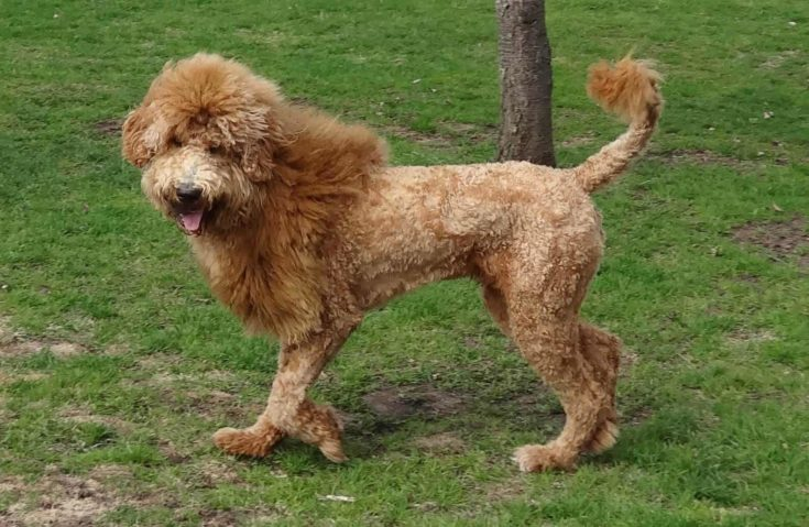 Goldendoole with a lion haircut.