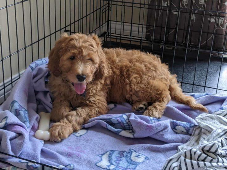 Goldendoodle lying on her blanket inside kennel.