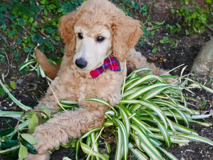 Standard Poodle Puppy in daily life
