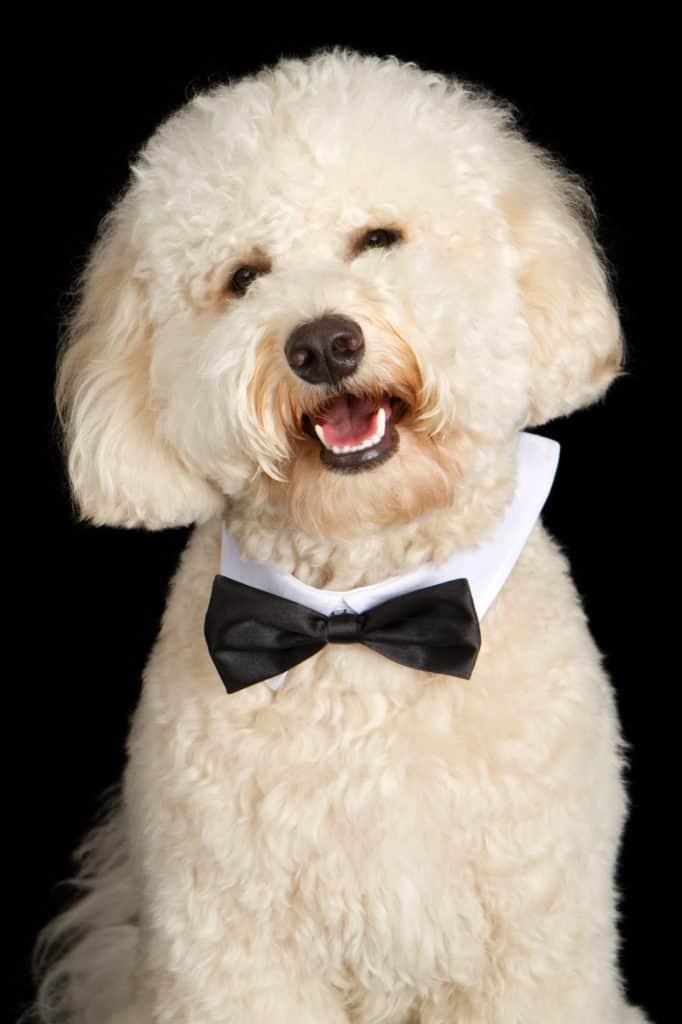 Cream color Labradoodle Dog dressed formal in a black bow tie