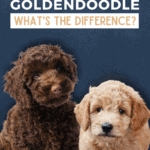 Labradoodle vs. Goldendoodle - What's the Difference? -Pin
