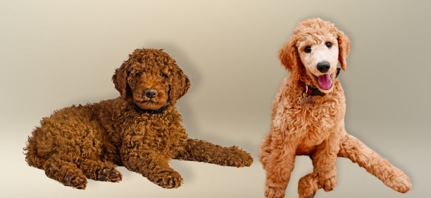 Brown Labradordoodle and a goldendoodle puppies