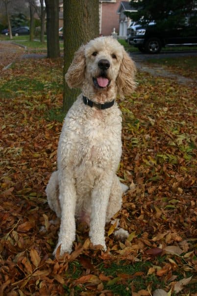 Male Goldendoodle Sitting