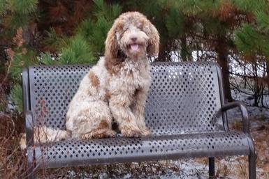 Merle goldendoodle sitting on steel bench