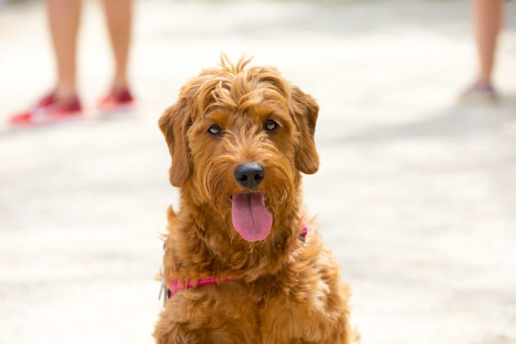 portrait of a miniature golden doodle puppy in a dog park