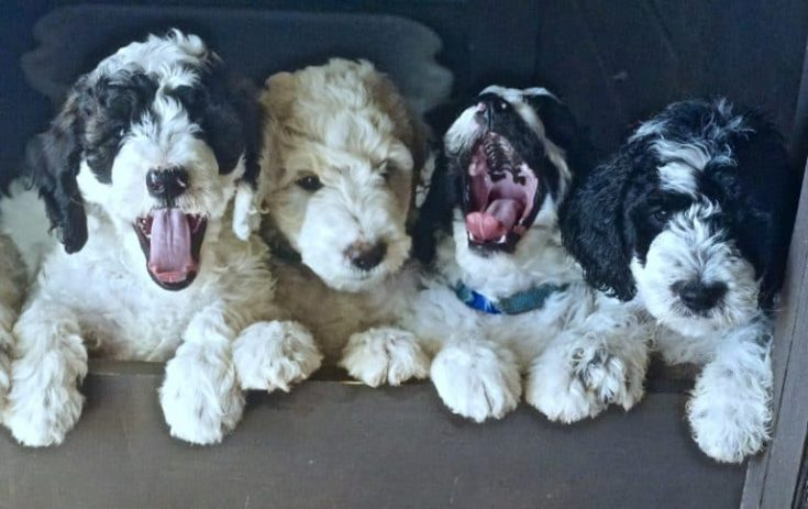 Parti goldendoodle puppies