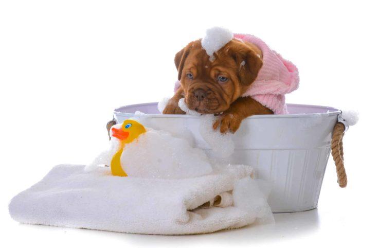 female dogue de bordeaux puppy getting a bath on white background
