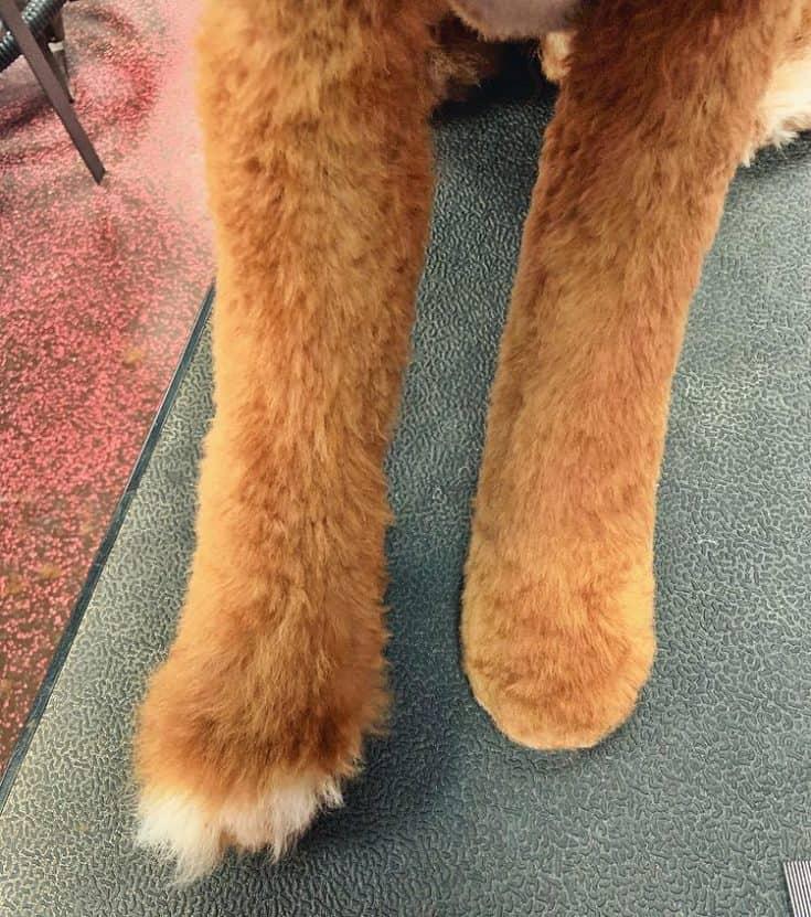 Round Feet Hair Cut Goldendoodle