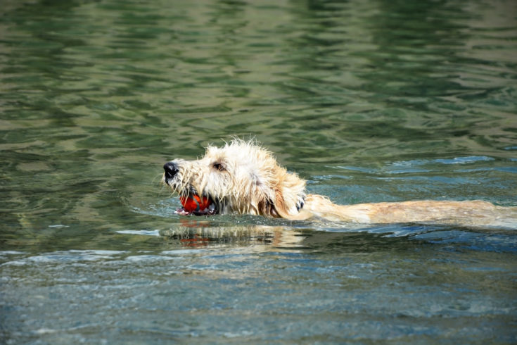 Swimming Labradoodle poppy with tennis ball